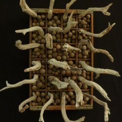 Ohia Medusa